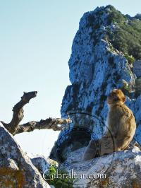 Gibraltar monkey relaxing with an awesome view