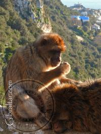 Gibraltar monkeys grooming each other