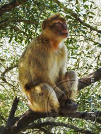 Macaque sitting in a tree