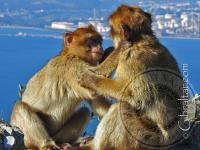 Macaques cuddling and grooming