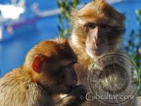 Smiling Gibraltar Monkey