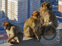 Three Gibraltar macaques at the Top Station