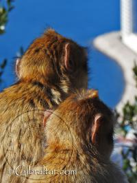 Two Gibraltar monkeys looking at the view