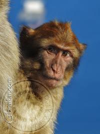 Baby Gibraltar Monkey