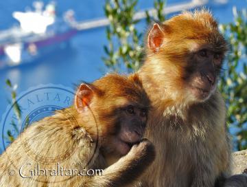 Un par de Macacos de Gibraltar