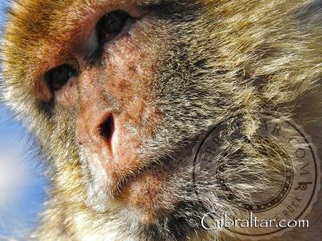 Imagen facial de un macaco de Gibraltar