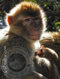 Macaco de Gibraltar con su cría