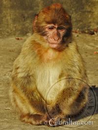 Pequeño Macaco de Gibraltar