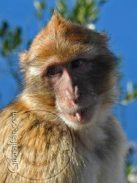 Macaco de Gibraltar picando algo