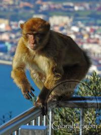 Macaco de Gibraltar caminando a lo largo de la barandilla
