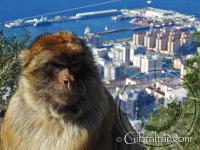 Macaco de Gibraltar y vista de la ciudad de fondo