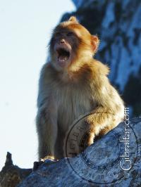 Mono pequeño aullando y llamando a los demás, Gibraltar