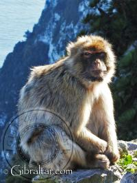 Mono de Gibraltar sentado sobre la pared del acantilado
