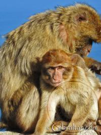 Mono de Gibraltar acicalando a su cría
