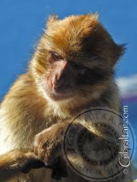 Mono de Gibraltar en la Estación Superior