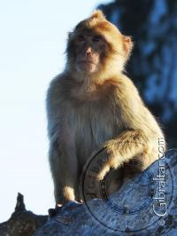 Mono de Gibraltar con cresta