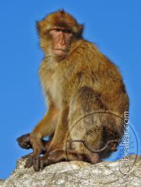 Mono de Gibraltar sentado y observando