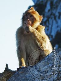 Mono de Gibraltar, sonriendo