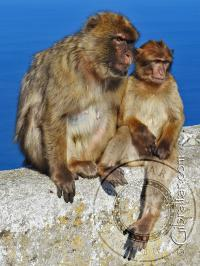 Dos monos de Gibraltar mirando hacia la ciudad, desde la Reserva Natural del Peñón Superior