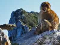 Mono en el Upper Rock, Gibraltar