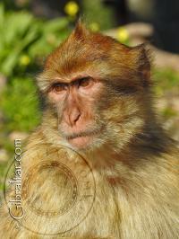 Imagen de un mono joven de Gibraltar