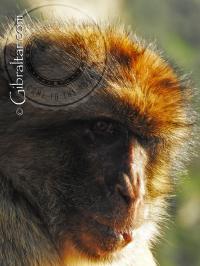 Retrato del mono de Gibraltar