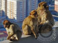 Tres Macacos de Gibraltar en la Estación Superior