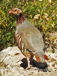 Barbary Partridge near Jew's Gate Cemetery