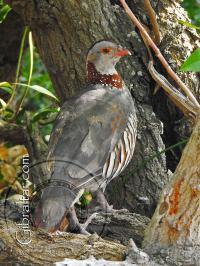 Barbary Partridge Bird Along The Mediterranean Steps
