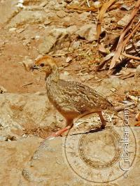 Barbary Partridge Chick Mediterranean Steps