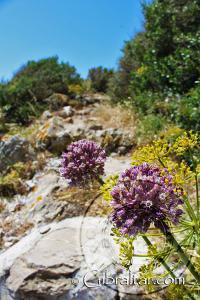 Bupleurum gibraltaricum and Garlic Flower Mediterranean Steps