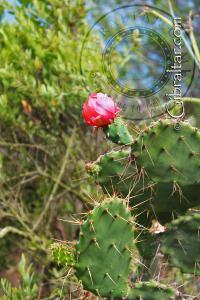Cactus Flower The Mediterranean Steps