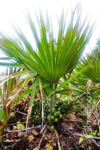 Dwarf Palm Fruit Mediterranean Steps