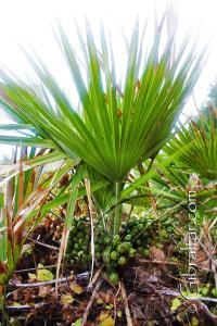 Dwarf Palm Fruit Mediterranean Steps