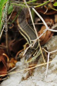 Lizard аlong the Mediterranean Steps