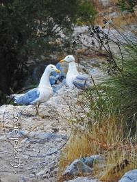 Yellow-Legged Gulls on the Mediterranean Steps