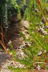 Flor con vainas a lo largo de la Escalera del Mediterráneo