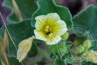 Insectos en una flor, Escalera del Mediterráneo