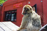 Macaco de Berbería, sentado en las afueras de la entrada a la Cueva de San Miguel en Gibraltar
