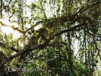 Las lianas de los monos de la Reserva Natural del Peñón