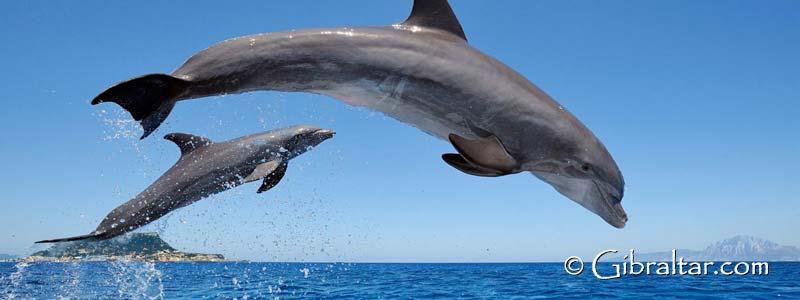 El avistamiento de delfines y ballenas en Gibraltar se ha convertido en uno de los atracciones más populares del Peñon, y continúa creciendo en popularidad cada año.