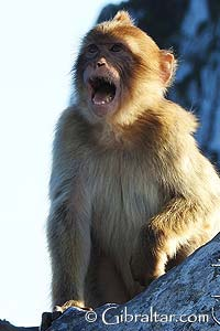Scientists believe that the Barbary Macaques, the proper name of the Gibraltar monkeys, were introduced to the area of Gibraltar by the Moors who lived there between 700 and 1492. The Gibraltar monkeys were likely used as pets by the occupants, however there is another school of thought that believes that the original macaques were holdovers from a population that had spread over southern Europe up to 5 million years ago.