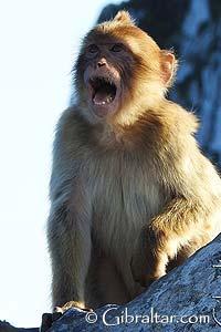 Los científicos creen que los macacos de Gibraltar o los monos de Berberia, fueron introducidos como mascotas por los árabes que se establecieron en el Peñón a principios del 700 al 1492. Aunque existan otras teorías sobre el origen de los macacos originales, traídos por una población extendida por el sur de Europa hace 5 millones de años.